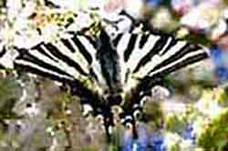 Zebra Swallowtail Butterfly is very striking.