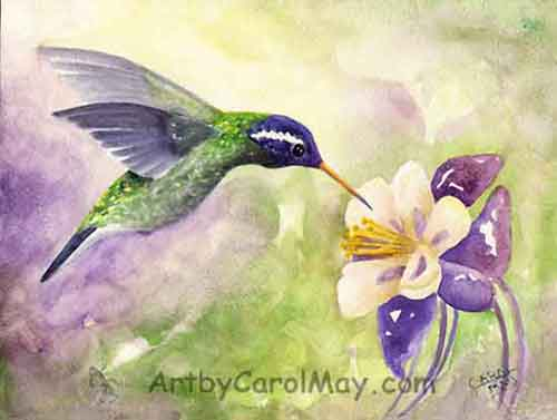 White-eared Hummingbird painting visiting a Columbine flower by painting artist Carol May
