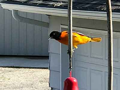Oil painting idea from a Baltimore Oriole picture